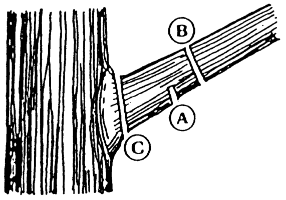 The three cut method for pruning a tree branch